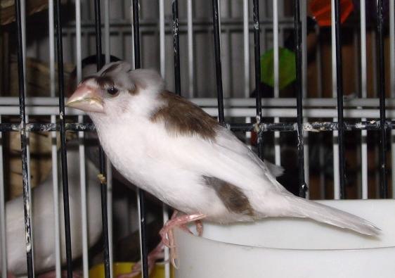 Японская амадина (Lonchura domestica)